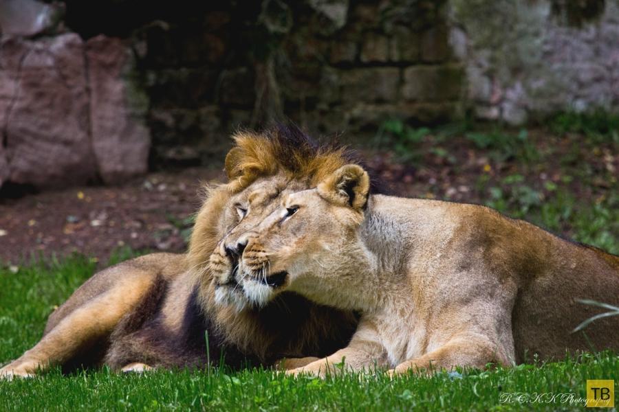 Львиная любовь (28 фото)