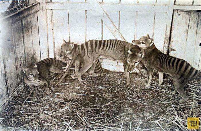 Топ 10: Животные, которых истребил человек (11 фото)