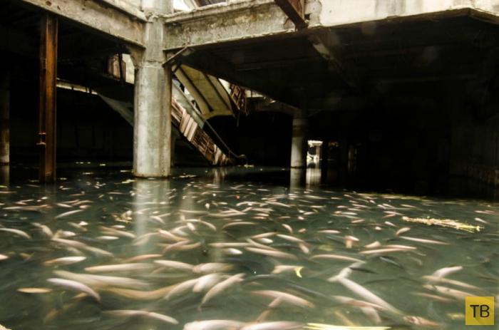 Карпы поселились в заброшенном торговом центре Бангкока (6 фото)