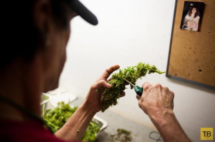 Как производят марихуану в Колорадо (7 фото)