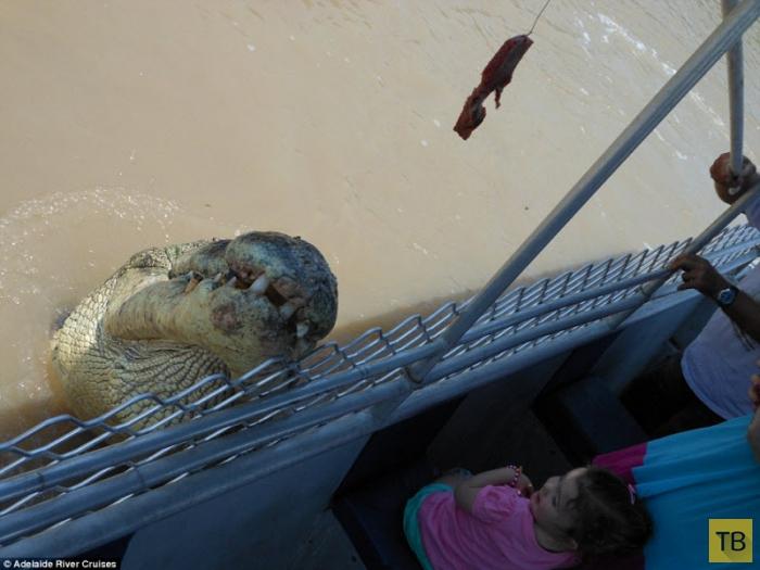 Акула и крокодил сошлись в смертельной схватке (15 фото)