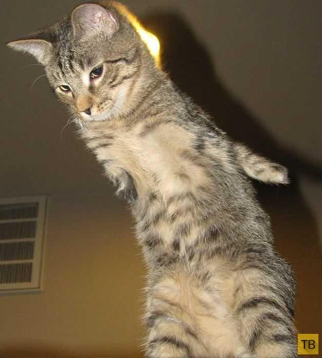 Жизнерадостный котенок без передних лап (8 фото)