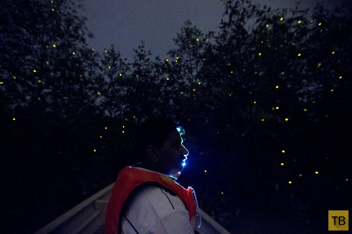 Парк светлячков в малайзийском городе  Куала-Селанго (6 фото)