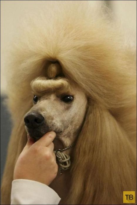 Самые безумные собачьи стрижки (28 фото)