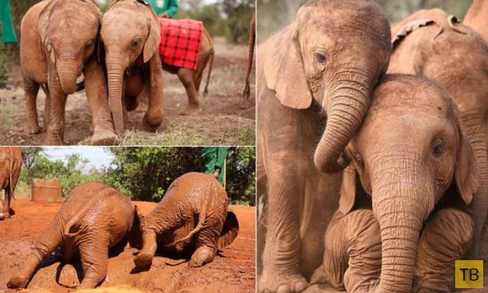 Осиротевшие слонята стали неразлучными друзьями (10 фото)