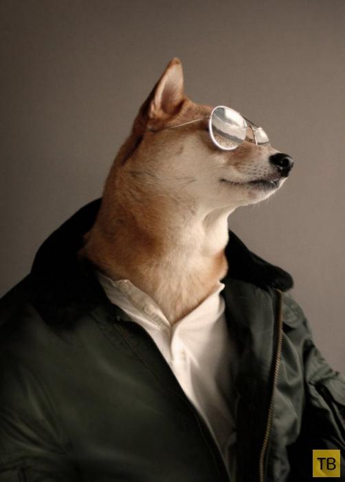 Собака стала высокооплачиваемой моделью мужской одежды (14 фото)