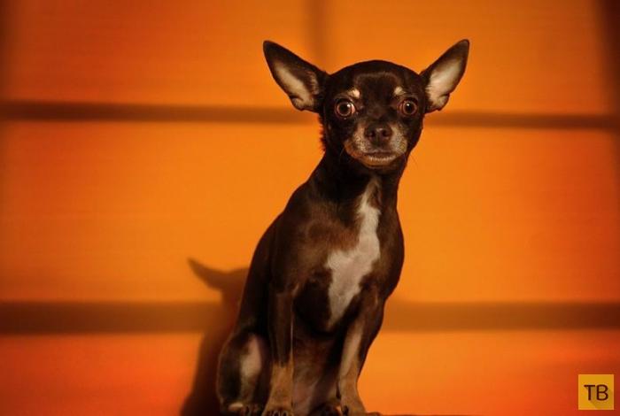 Топ 10: Агрессивные собачьи породы (10 фото)