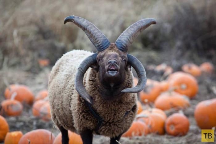 Зоопарк вызвал экзорциста для борьбы с четырехрогим дьявольским бараном (5 фото)