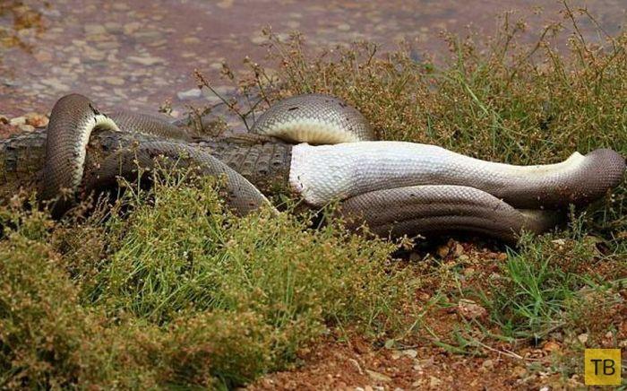 Питон против крокодила (18 фото)
