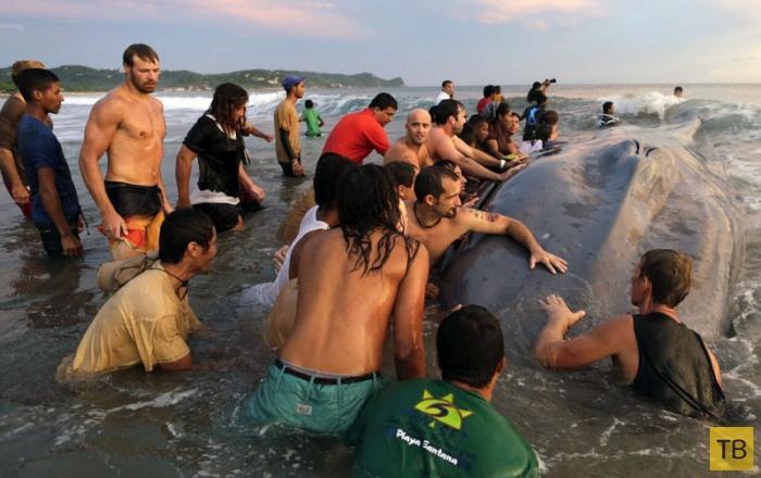 Более 50 человек пытались вернуть в море выбросившегося на берег кита (13 фото)