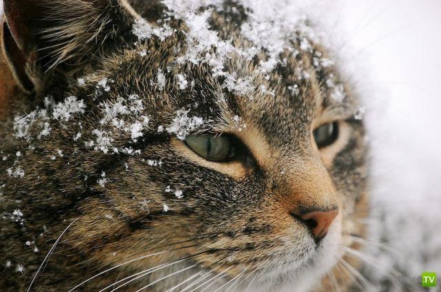 Зимняя подборка кошки на снегу (47 фото)