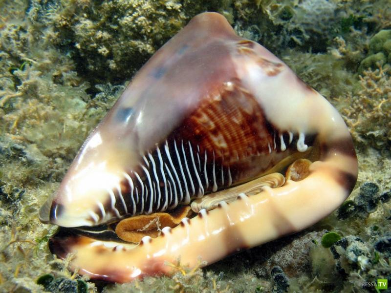 Морские раковины (30 фото)