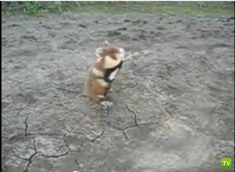 Злой хомяк (Evil Hamster)