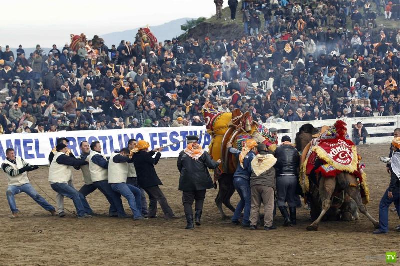 Турция: Верблюжьи бои (14 фото)
