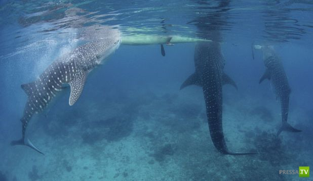 Кормление китовых акул с рук на Филиппинах (5 фото)