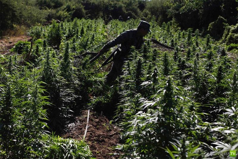 Мексика: Уничтожение плантации марихуаны (9 фото)