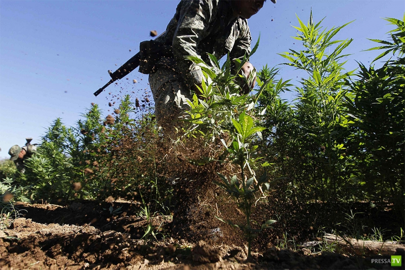 Плантации марихуаны мексика чем опасна марихуана