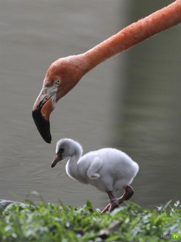 Маленький фламинго (2 фото)
