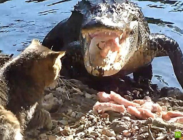С котэ шутки плохи... Жестокая битва котэ с крокодилом