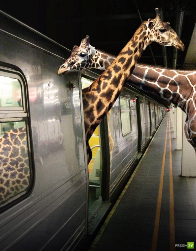Животные, как люди... (10 фото)