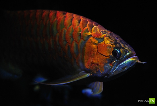 Красный дракон. Король рыб в Китае...
