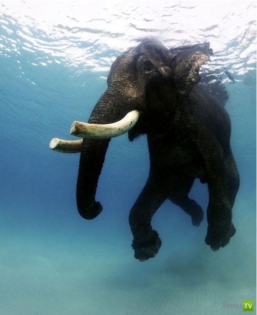 Последний плавающий слон Андаманских островов, Индия ...