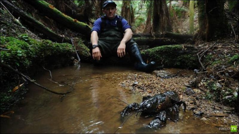 Гигантские речные раки Тасмании