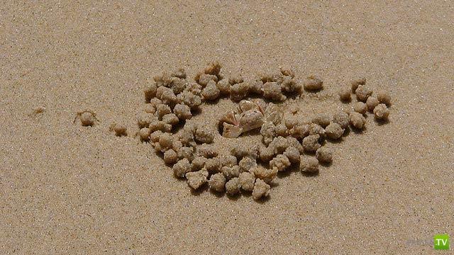 """Крабы, которые строят свою """"Галактику""""... Эти крабы строят свою Галактику, иначе зачем им столько шариков из песка? Для чего они им?"""
