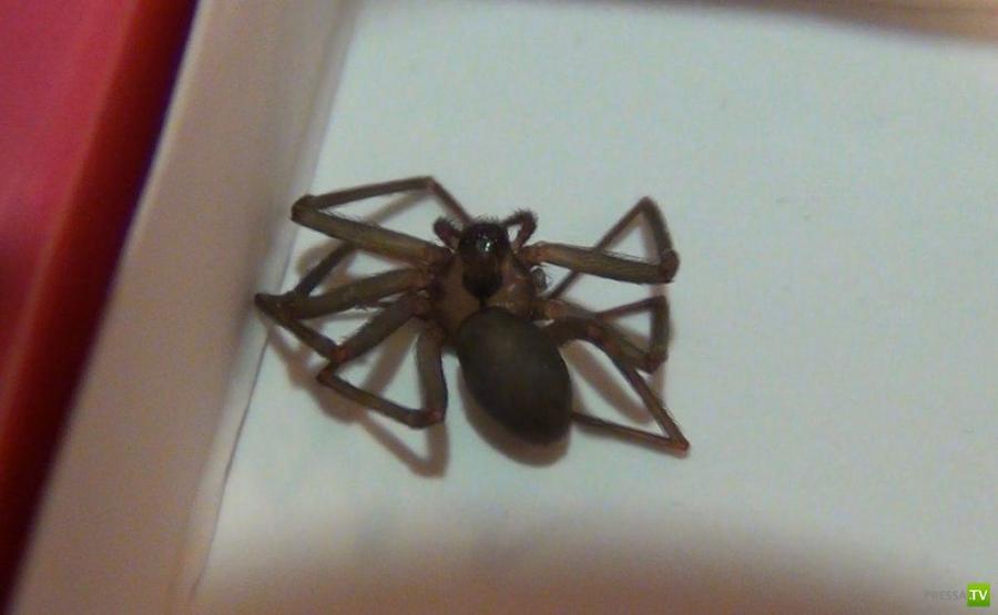 Как выглядит укус коричневого паука-отшельника (19 фото)