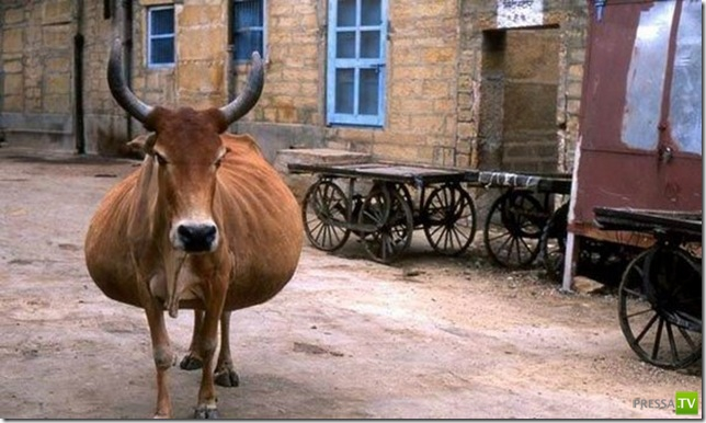 Толстяки в мире животных ... (20 фото)