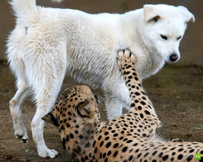 Пес и гепард лучшие друзья ...