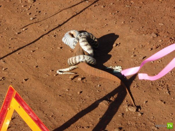 Схватка змеи и игуаны ... Серьёзную схватку сняли туристы - на границе схватились две твари. Но победитель вышел только один ..