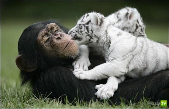 Шимпанзе - тигриная мама