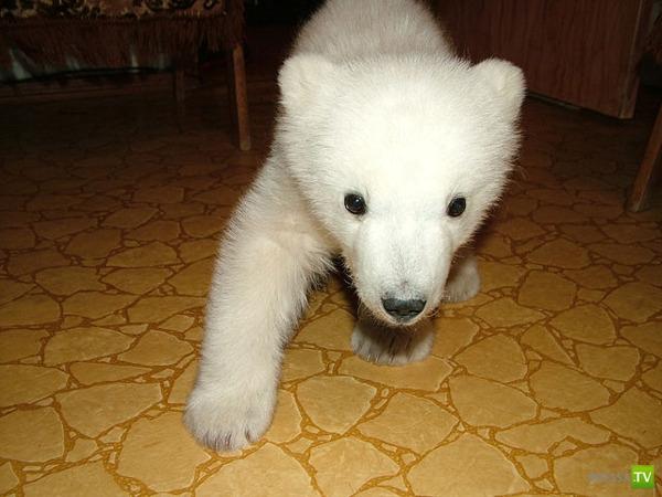 Полярный медвежонок Умка
