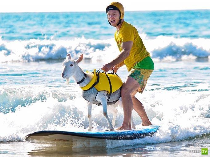 Гоати - коза сёрфингист