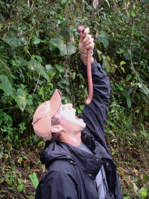 Австралийский гигантский дождевой червь ...