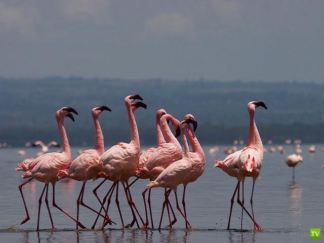Самая большая в мире популяция Фламинго ...