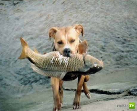Собака - рыболов ... С такой собачкой да на рыбалку! Улов точно будет знатный