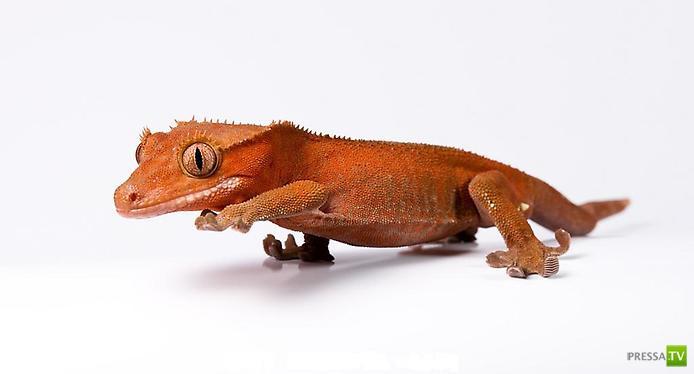 Самые красивые гекконы в мире ...