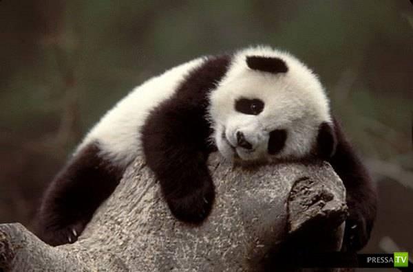 Интересное о пандах