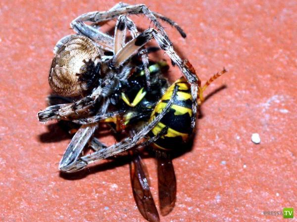 Схватка паука с осой ...