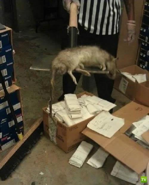 Популяция огромных крыс в Нью-Йорке