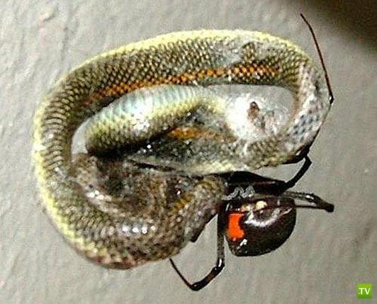 Паук съел змею...