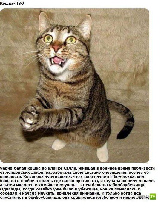 Героические коты ...