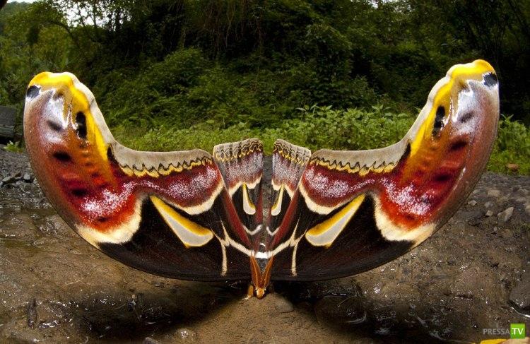 Гималайский мотылек... Огромный!!! (2фото + видео)