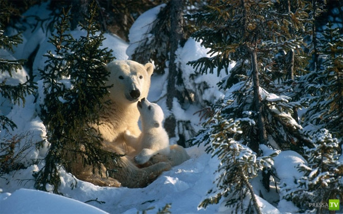 Зима закончилась! Полярные медведи выходят из берлог... (15фото)