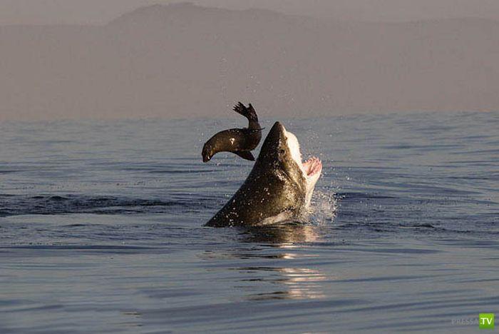 Как охотятся акулы ? (35 фото)