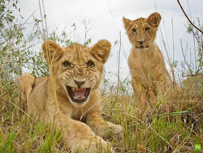 Львы, как они есть... (23 фото)