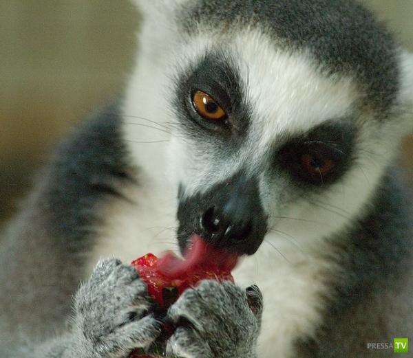 Клубничка в мире животных ... (15 фото)