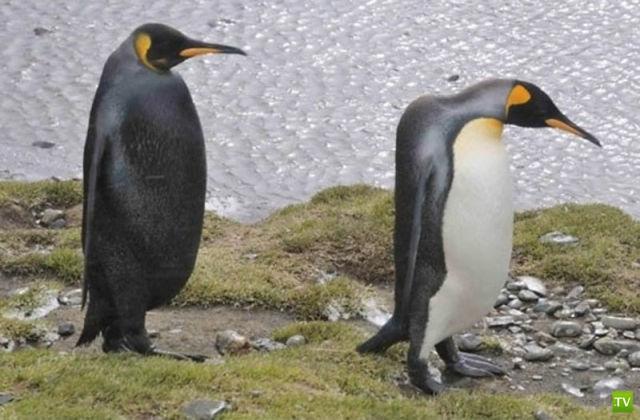 Животные - меланисты (10 фото)
